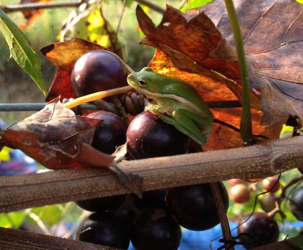 Grape Frog